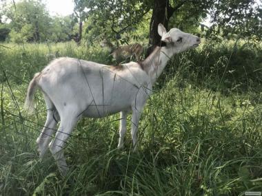 Нубийские козочки. козы коза