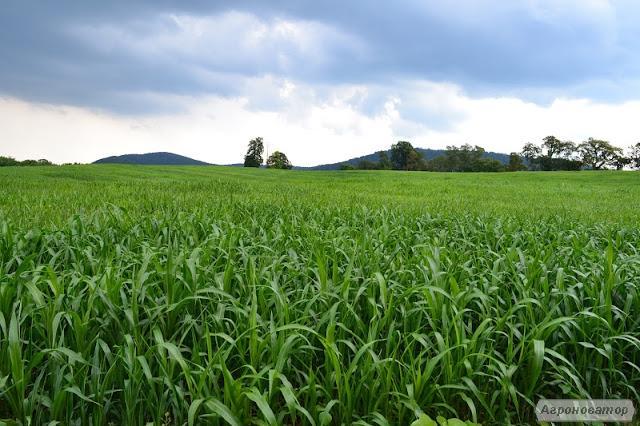 Суданка - семена кормовых трав  от производителя