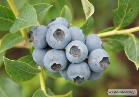 РІЧКА (Reka Northern Highbush Blueberry) лохина