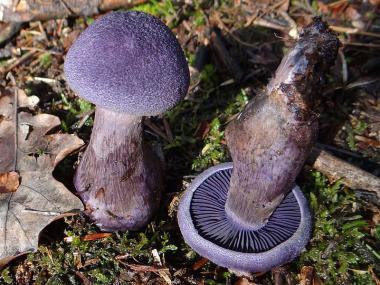 Міцелій Паутинника фіолетового (Cortinarius violaceus)