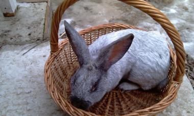 Кролики живые породы полтавское серебро