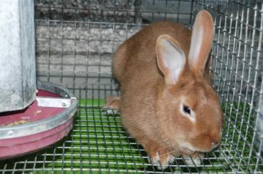 Продам кроликов бургундской породы