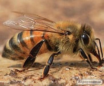Бджолопакети Карпатка на 2017год