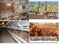 птицеферма как бизнес, организация бизнеса на курах