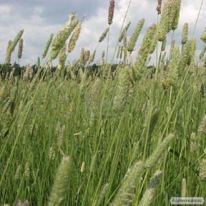Продам трава тимофиевка (тимофіївка) насіння