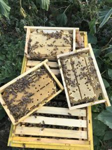 Пчеломатки, Бджоломатки Бакфаст на 2021 год. F1,ИО.