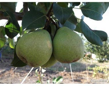 Саджанці груші сорту Бере Дюрондо, від виробника