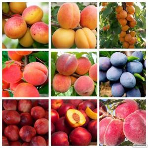 Саженцы груши,черешни,абрикоса,яблоня,розы  высокое качество.