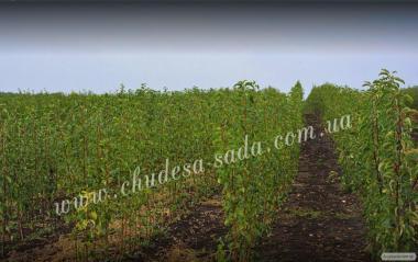 Саджанці груші великоплідних сортів