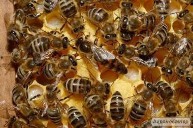 Прдам бджолопакети