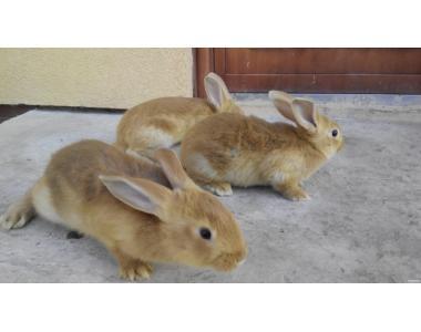 Мясные кролики породы Бурундец