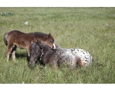 шетландские пони