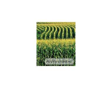 Семена кукурузы НС 2014 (Нови Сад Сербия)