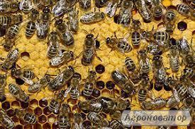 Пчелосемьи Украинская степная