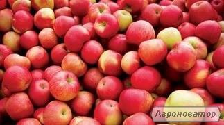 Продам яблука оптом з холодильника