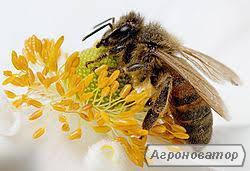 Продажа пчеломаток КАРПАТКА ранние март-апрель 2018г.
