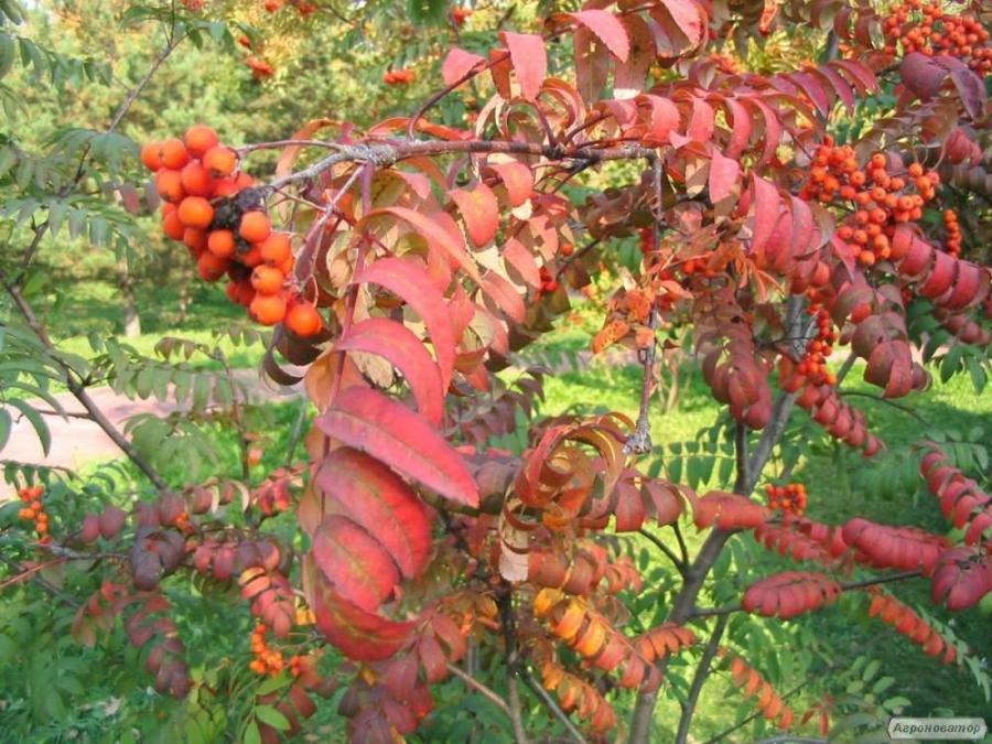 Саджанці горобини червоної,калини,дуба червоного,липи,черемхи,вільхи,беріз