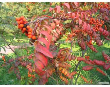 Саджанці горобини червоної, калини, дуба червоного, липи, черемхи, вільхи,