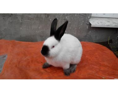 Продам кролики породы Калифорниец