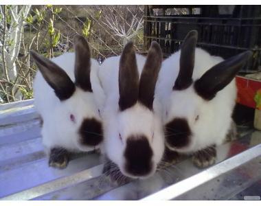 Продам кролики породи Каліфорнієць