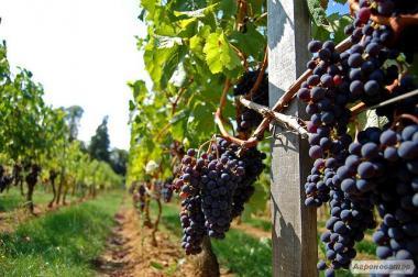 Продам технический (винный) сорт винограда Мерло