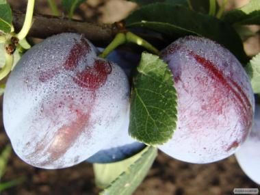 Саджанці плодових дерев, смородина, порічка