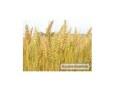 Пшеница озимая Гром, питомник размножения (посевные семена)