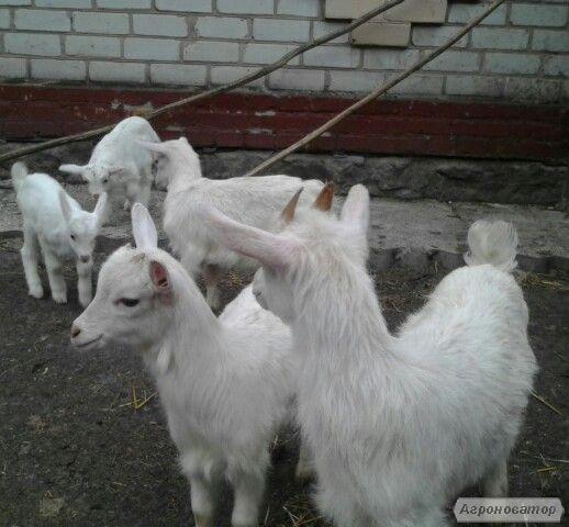 Зааненские козлята и козел взрослый.фото их.