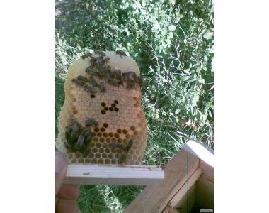 Пропоную бджоломаток карпатської породи з Закарпаття.