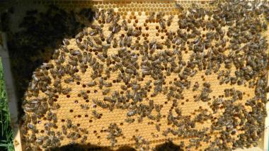 Продам пчелопакеты доставка по украине