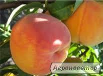 Саджанець персика Лаурол