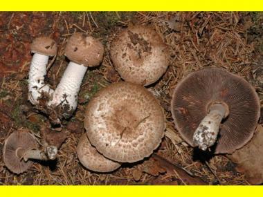 Мицелий Шампиньона лесного (Agaricus silvaticus)