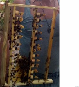 Продам Плодные Пчелиные Матки Украинской Степной Породы