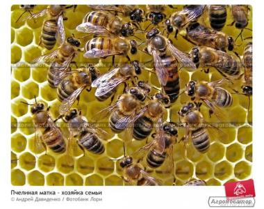 Бджолині сім'ї