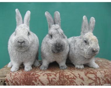 Кролики породи БСС.