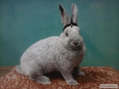 Кролики породы БСС.
