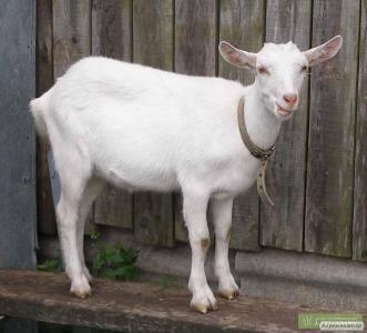 продаю козу 5 месяцев