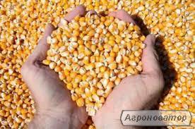 ПРОДАЮ КУКУРУДЗУ підвищена зернова 12%. Знижка 200 грн .Тисни!