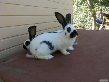 Кролики Строкачи 2-3 міс.
