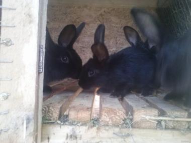 Продам кроликов Калифорнийской и ПС пород 100грн.