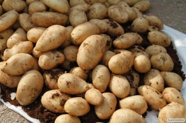 Картопля від виробника оптом