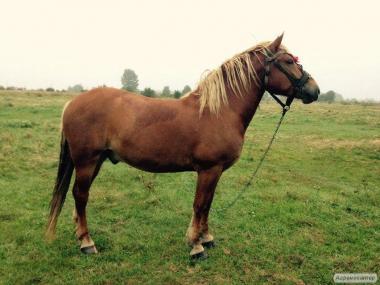 Продається кінь і дві кобили новоолександрівські ваговози