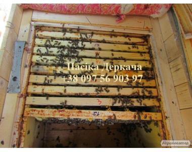 Продам пчелосемьи карпатских пчел доставка по Украине