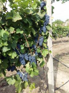 Органічне еко-вино (сухе червоне)