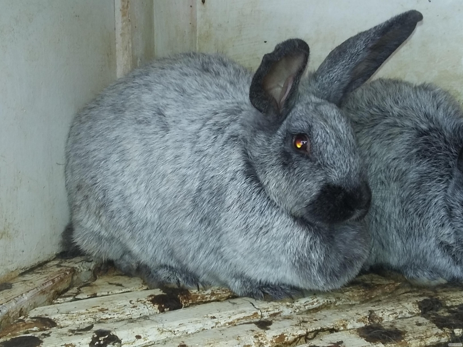 кроли полтавское серебро