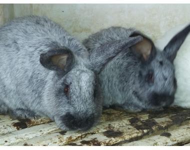 кролі полтавське срібло