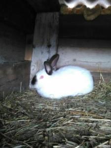 Кролики породи Каліфорнійська