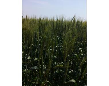 Семена озимой пшеницы Лесная песня (элита, CH-1)