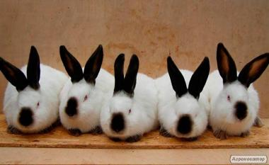 Продам кроликов Калифорнийской породы
