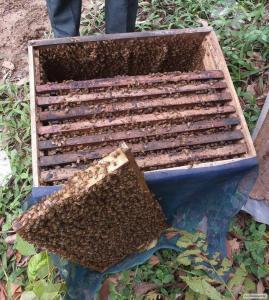 Продаются пчеломатки Карпатской породы